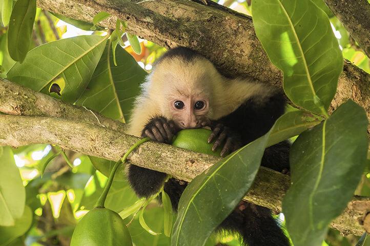 Costa Rican Capuchin Monkey